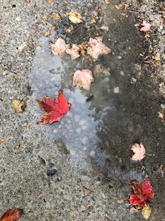 maple leaf rain